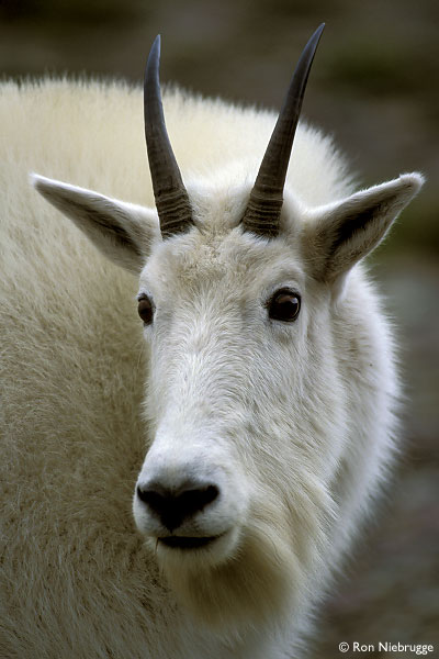 Predator and Prey | Guide MOUNTAIN-GOAT.