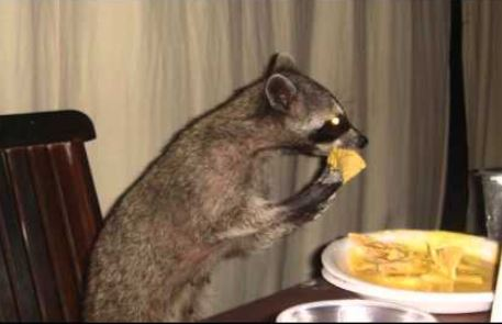 raccoon nachos
