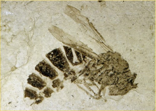Fig. 2: Fossil Wasp from Eocene Lake Beds, Florissant Fossil Beds National Monument, via the Geological Society of America (www.geosociety.org/graphics/gv/pikespeak/03fossilwasp.htm) photo by Bud Wobus