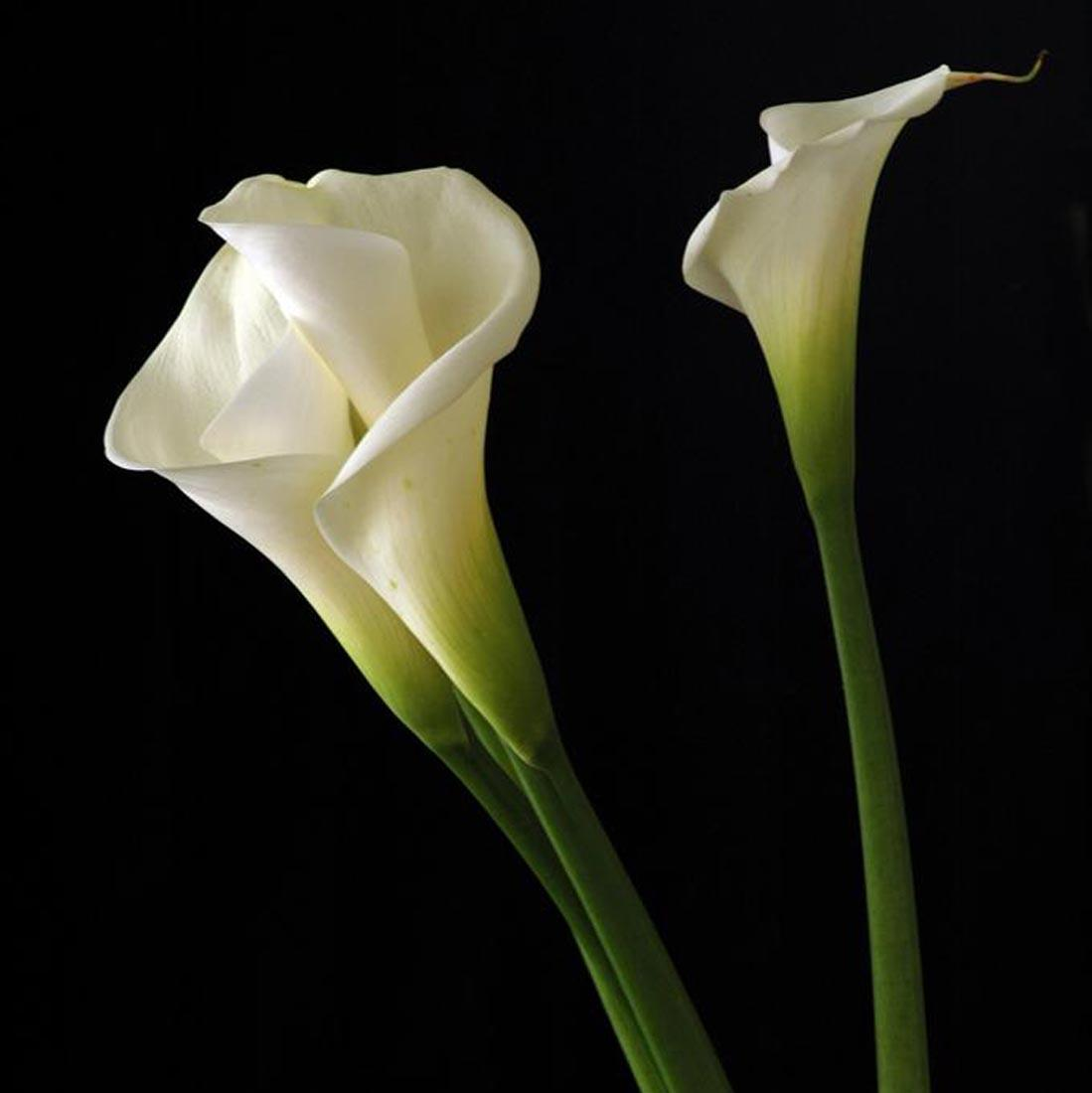 calla-lily-flowers-hd-wallpapers-cool-desktop-pictures-widescreen