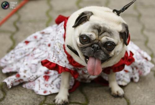 pug in dress